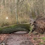 Eiche mit kleinem Wurzelstock - Westseite der Grube Prinz von Hessen © Hans Günter Abt