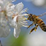 Honigbiene an Obstblüte - Garten in der Heimstättensiedlung © Jürgen Landshoeft