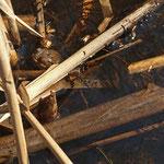 Erdkröte zwischen Laichschnüren