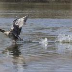 Flüchtende Graugans - Reinheimer Teich © Anke Steffens