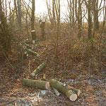 Einige Feldahornbäume auf den Stock gesetzt