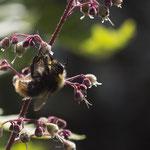 Hummel an Purpurglöckchen - Garten auf der Rosenhöhe © Anke Steffens