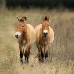 Przewalski-Wildpferde - Babenhausen © Hans Günter Abt