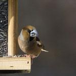 Kernbeißer, eigentlich ein Waldvogel - Garten auf der Rosenhöhe © Anke Steffens