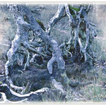 Wurzeln einer Birke im Sumpf - Alte Fasanerie Klein-Auheim © Jennie Bödeker