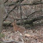 Feldhase im Wald