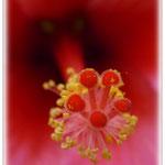 Hibiskusblüte - Botanischer Garten © Jennie Bödeker