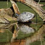 Rotwangen-Schmuckschildkröte - Teich am Spießfeld © Hans Günter Abt