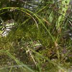Grashüpfer auf Distelblatt - Garten auf der Rosenhöhe © Anke Steffens