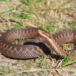 Aufgeschreckte Schlange auf dem Waldweg