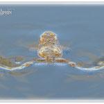 Schwebende Erdkröte - Teich bei Dieburg © Jennie Bödeker