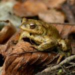Erdkröten-Mann auf Suche nach einer Partnerin - Fischerhütte © Marlen Wesemeyer