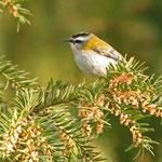 Sommergoldhähnchen, unser zweitkleinster Vogel