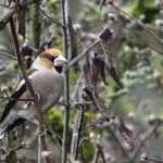 Kernbeißer, unser größter Finkenvogel - Garten an der Rosenhöhe © Anke Steffens