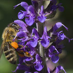 Honigbiene an Salvia - Garten auf der Rosenhöhe © Anke Steffens