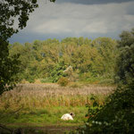 Weißes Hochlandrind - Reinheimer Teich © Jennie Bödeker
