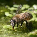 Trinkende Biene am Gartenteich - Garten DA-Ost © Anke Steffens