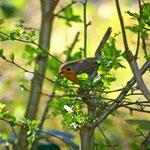 Derzeit häufig zu finden: Rotkehlchen - Darmstädter Ostwald © Marlen Wesemeyer