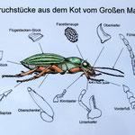 Hilfe zum Erkennen von Gliederteilen im Kot © Dirk Diehl