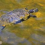 Schwimmende Schmuckschildkröte