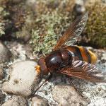 Mimikry der Hornissen-Schwebfliege - Garten auf der Rosenhöhe © Anke Steffens