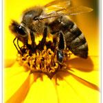 Honigbiene - Hermannshof Weinheim © Jennie Bödeker