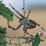 Kreuzspinne auf unsichtbarem Netz - Ober-Nauses © Susanne Diehl