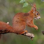 Eichhörnchen zu Gast - Garten in der Heimstättensiedlung © Jürgen Landshoeft
