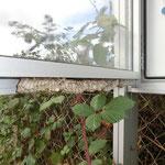 Wespen im NABU-Schaukasten - Oberfeld © Anke Steffens