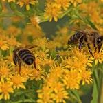 Honigbienen sind wichtige Bestäuber
