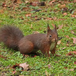 Eichhörnchen begegnet Friedhofsgästen - Waldfriedhof Darmstadt © Hans Günter Abt