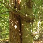 Ungewöhnliche Baum-Partnerschaft - Darmstädter Wald © Hans Günter Abt