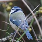 Blaumeise als Gast bei der Winterfütterung - Garten in Darmstadt © Ulrike Borchard