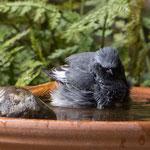 Hausrotschwanz beim Bad - Garten an der Rosenhöhe © Anke Steffens