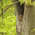 Waldkauz in einer Baumhöhle