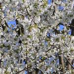 Vor lauter Kirschblüten kaum noch blauer Himmel