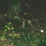 Begegnung am Abend: Fuchs auf Entenjagd?