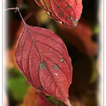 Herbstbunter Hartriegel - Reinheimer Teich ©  Jennie Bödeker
