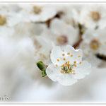 Weiße Frühlingsblüte - Reinheimer Teich © Jennie Bödeker