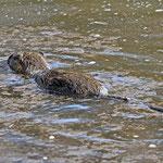 Schwimmende Nutria - kein Biberschwanz!