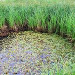 Folge der Trockenheit: Wenig Wasser, viele Pflanzen