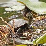 Unbekannte exotische Schildkrötenart - Backhausteich © Hans Günter Abt