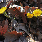 Gelbe Punkte am Waldboden: Huflattich