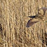 Fliegende Rohrdommel - Reinheimer Teich © Jürgen Landshoeft