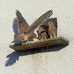 Flugtraining bei Turmfalken - Messel © Hans Günter Abt