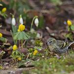 Weibchen des Erlenzeisig - Garten in Messel © Hans Günter Abt