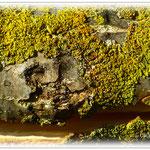 Gelbe Baumflechte - Reinheimer Teich © Jennie Bödeker