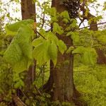 Tilia platyphyllos - Junge Blätter Ende April