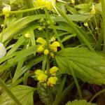Lamium galeobdolon - neben Allium paradoxum, Beginn Blütezeit Anfang Mai