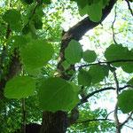 Die typischen langgestielten Blätter der Zitterpappel, aufgenommen im Mai im nördlichen Parkgebiet